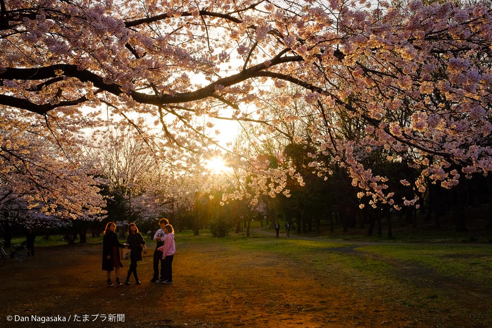 満開の桜と太陽と友達