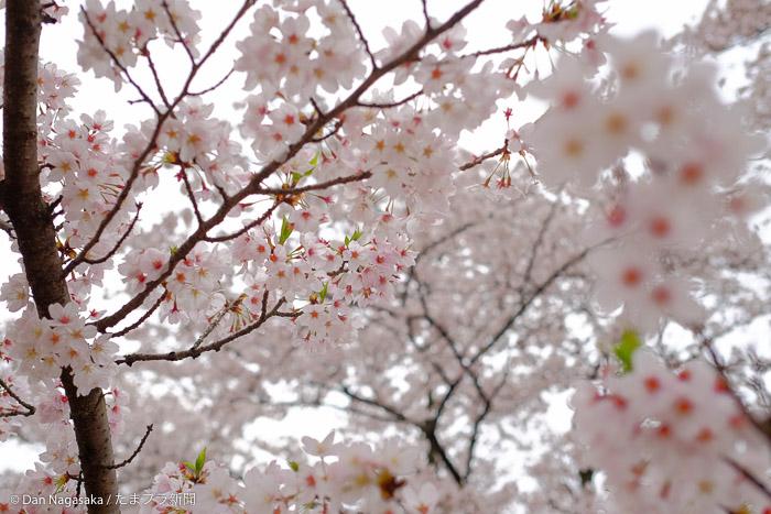 花曇りと満開の桜