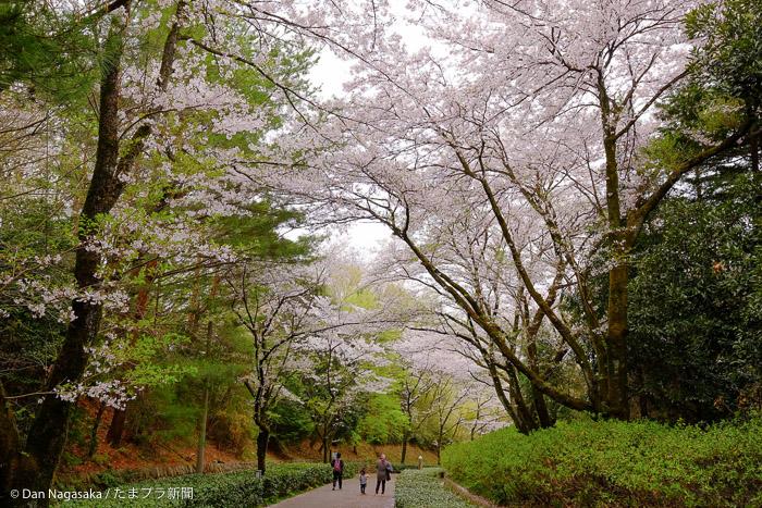 七草峠の満開の桜