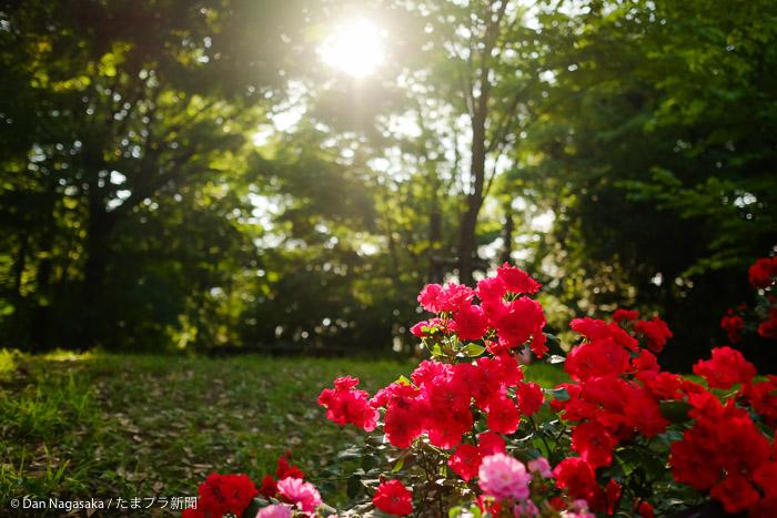 太陽と赤いバラ