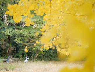 黄色いイチョウの葉と散歩女子