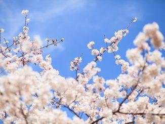 菅生緑地の満開のソメイヨシノ
