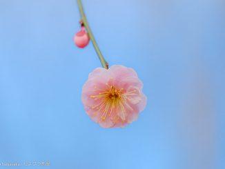 パステルピンクの梅花のアップ