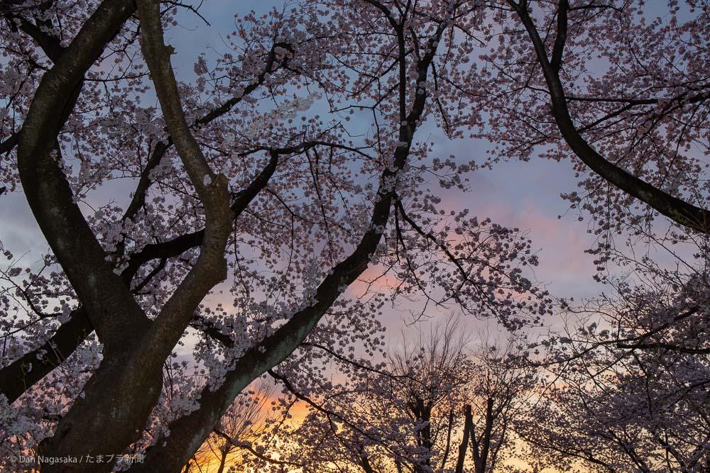 美しが丘第七公園の満開の桜と夕焼け
