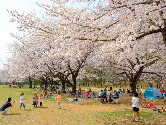 菅生緑地で花見する人々