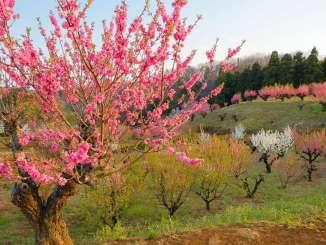 ピンクの梅花