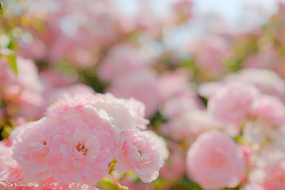 ピンクのバラ畑
