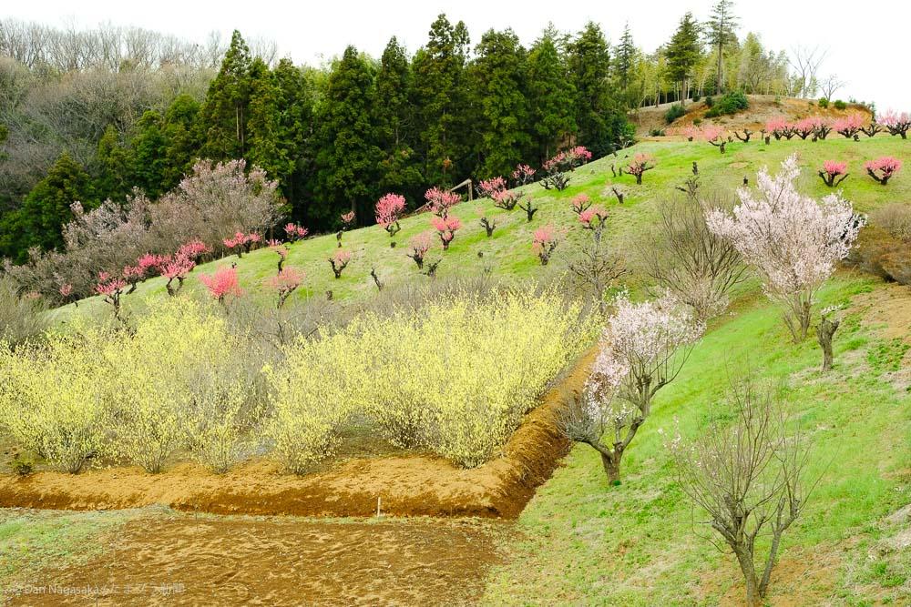 花桃の丘 2020年3月13日の開花状況