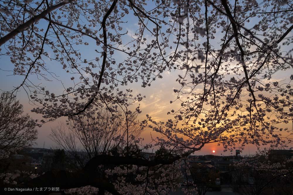 新石川公園の桜と夕焼け