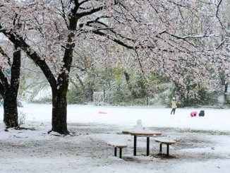 菅生緑地の雪桜