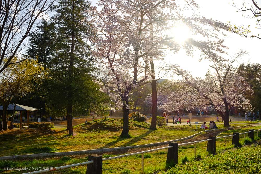 美しが丘公園の満開の桜