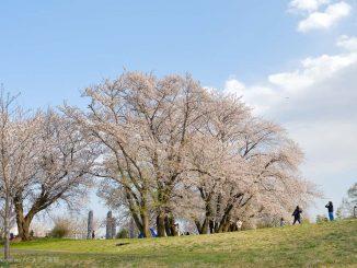 中川八幡山公園の満開の桜
