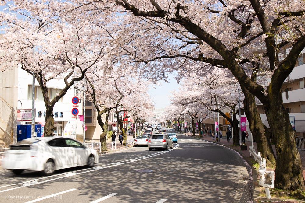 たまプラーザ満開の桜並木