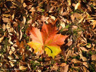 大きなカエデの落ち葉