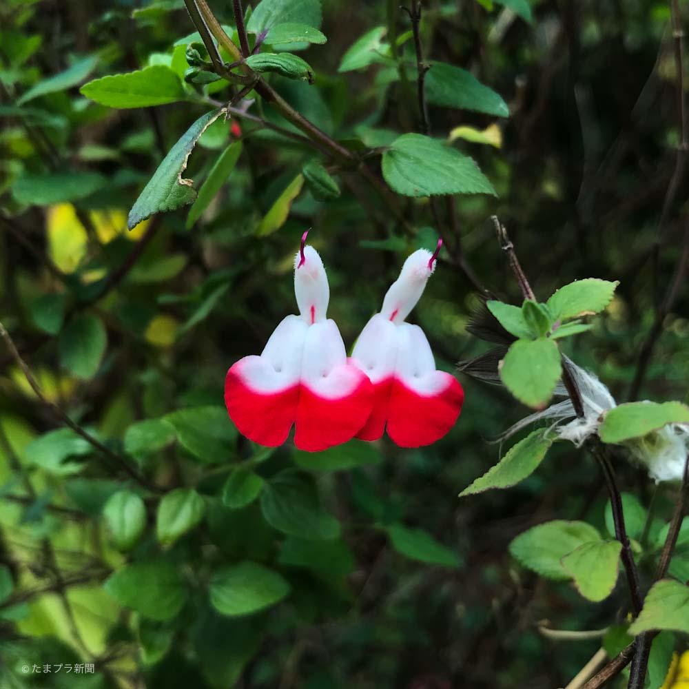 紅白の白い花