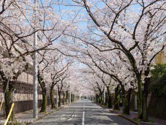 あざみ野桜通り桜のトンネル