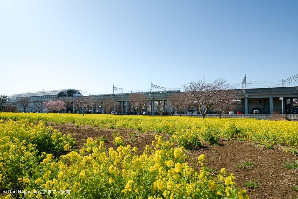 川和町駅と菜の花畑