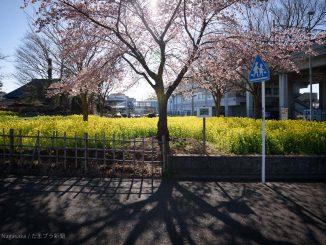 満開の桜 越の彼岸と太陽