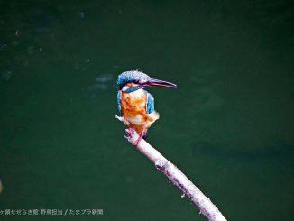 川辺の水鳥カワセミ
