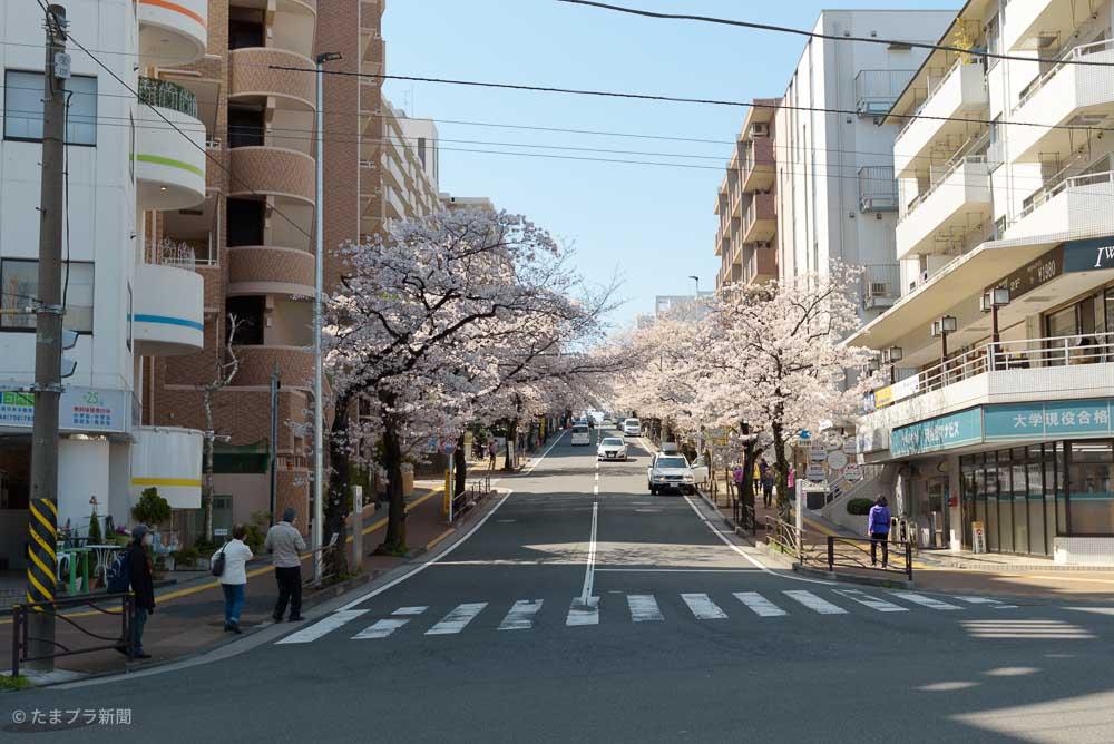 宮崎台の桜並木