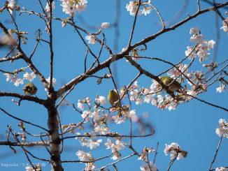 玉縄桜にとまる3羽のメジロ