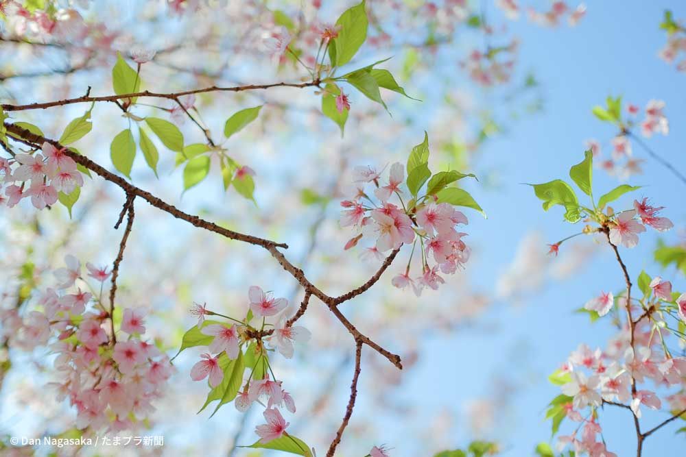 王禅寺ふるさと公園の玉縄桜の葉桜