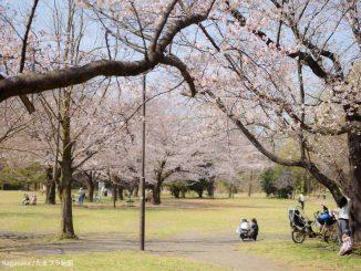 2021年3月26日の菅生緑地の桜