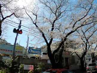 たまプラーザの満開の桜 2021年3月24日撮影